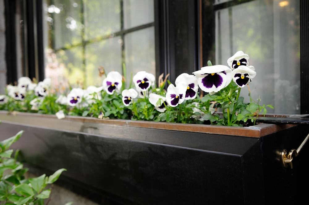 Popular annuals for window boxes.