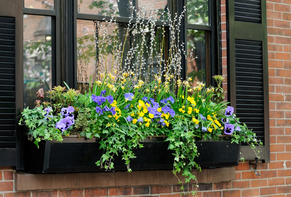 Popular trailing plants for window boxes.